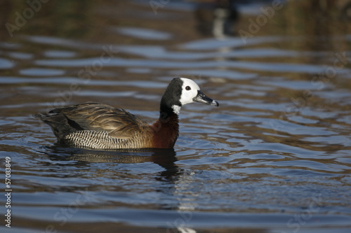 White faced tree duck, Dendrocygna viduata