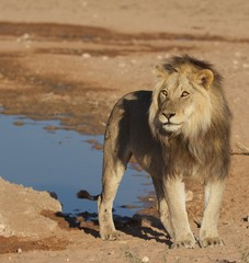 Lion at waterhole in riverbed
