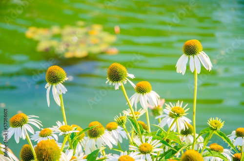 Camomiles flowers in nature concept