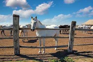 Horse Farm, Lipizzaner