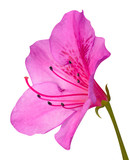 Pink Azalea Blossom Macro with Green Stem Isolated on White