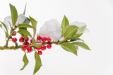 Isolated snowcovered holly twig with berries