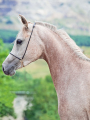 portrait of beautiful young arabian mare
