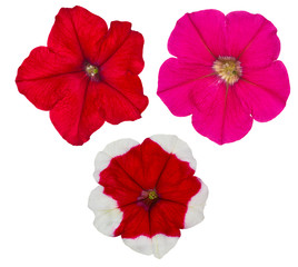 three petunia flowers isolated on white