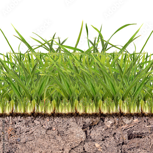 green grass in soil isolated on white