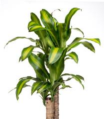 Ornamental variegated foliage