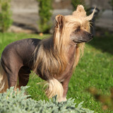 Chinese Crested Dog in the garden