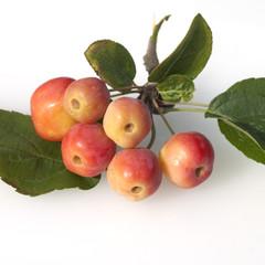 Zierapfel, orange, Malus floribunda,