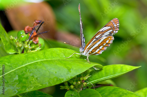 Common Sailor butterfly (Neptis hylas papaja).