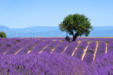Fototapeta Lavender field. The plateau of Valensole in Provence