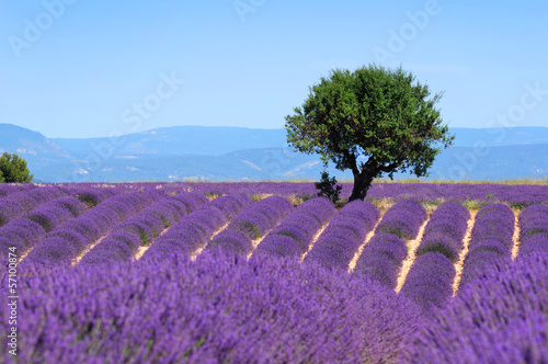 Fridge magnet Lavender field. The plateau of Valensole in Provence