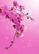 Piękny zwisający storczyk