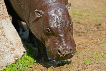Close-up of the head of a pygmy hippopotamus in zoo.