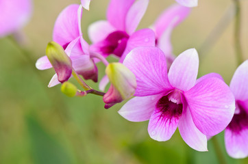 Dendrobium orchid hybrids is white and pink stripes