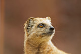 Close-up of a yellow mongoose in zoo.