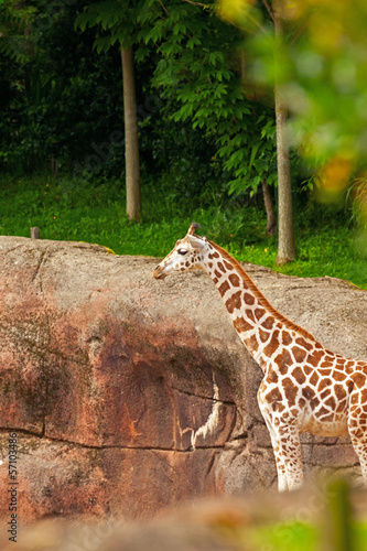 Young rothschild giraffe in zoo.