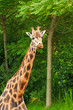 Rothschild giraffe in front of green trees in zoo. Head and long