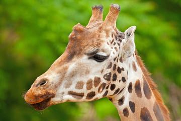 Rothschild giraffe in zoo. Head and long neck.