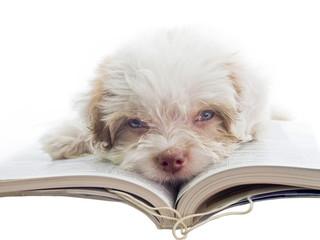 english puppy dozy over reading a book