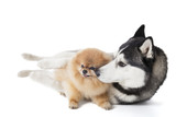 Two dogs (Siberian Husky and Pomeranian) cuddling