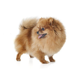Pomeranian dog breed on a white background in studio