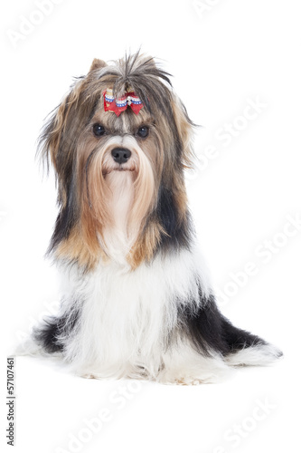 Biewer-Yorkshire terrier on a white background in studio