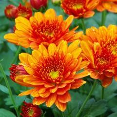 Chrysantheme - chrysanthemum 09