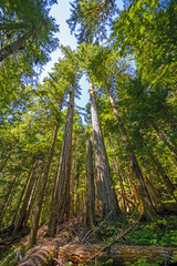 Old Growth Forest on a Sunny Day