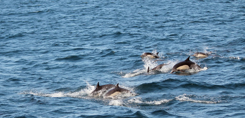 Pack of common dolphins in large pod, Sta Cruz channel island