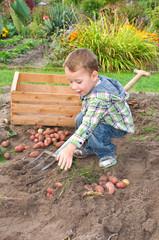 Kleiner Junge erntet Kartoffeln