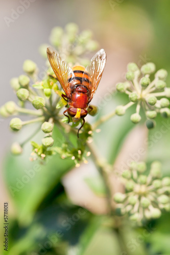 flower fly volucella inanis on blossoms of ivy