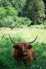 Brown Scottish cow in a green grass field in summer