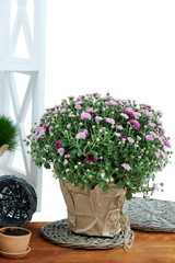Chrysanthemum bush and grass in pots