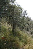 Olive trees in Pelion Greece
