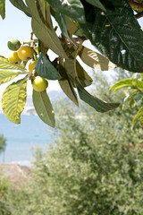 Fig tree with green figs