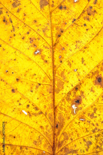 Walnut leaf surface, autumn discoloration