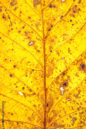 Walnut leaf surface, autumn discoloration