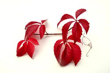 Rote Weinblätter vor weißem Hintergrund