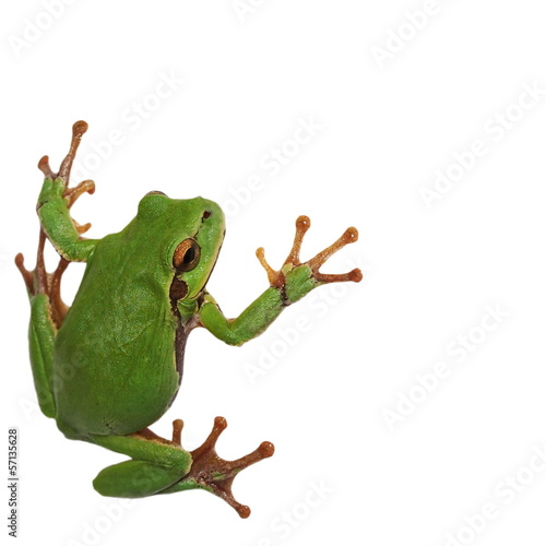 Foto op Aluminium Kikker European tree frog isolated on white background, Hyla arborea