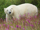 Polar Bear and Fireweed 1