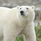 Polar Bear closeup 1