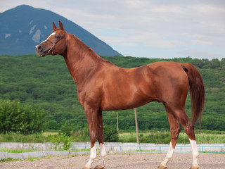 exterior of arabian chestnut  stallion at the mountain backgroun