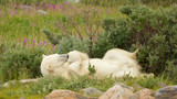 Polar Bear tired in the bushes