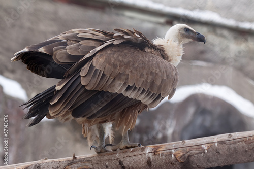 Griffon vulture  against rocky background