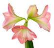 blooming amaryllis