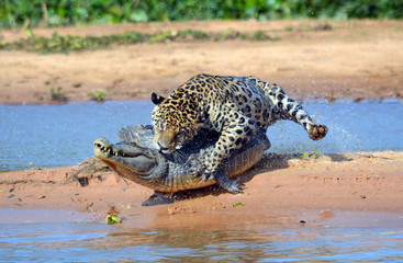 jaguar attacks cayman in Brazil