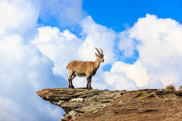 Stambecco in montagna su roccia