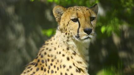 Young cheetah male calling cheetah female