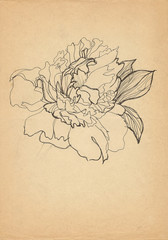 peony pen drawn on old paper