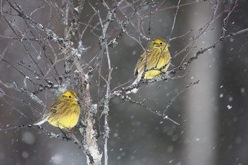Yellowhammer; Emberiza citrinella